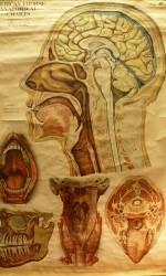 Carta anatomia humana1910  180x100 cm