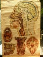 Carta anatomía humana 1910 180x100 cm