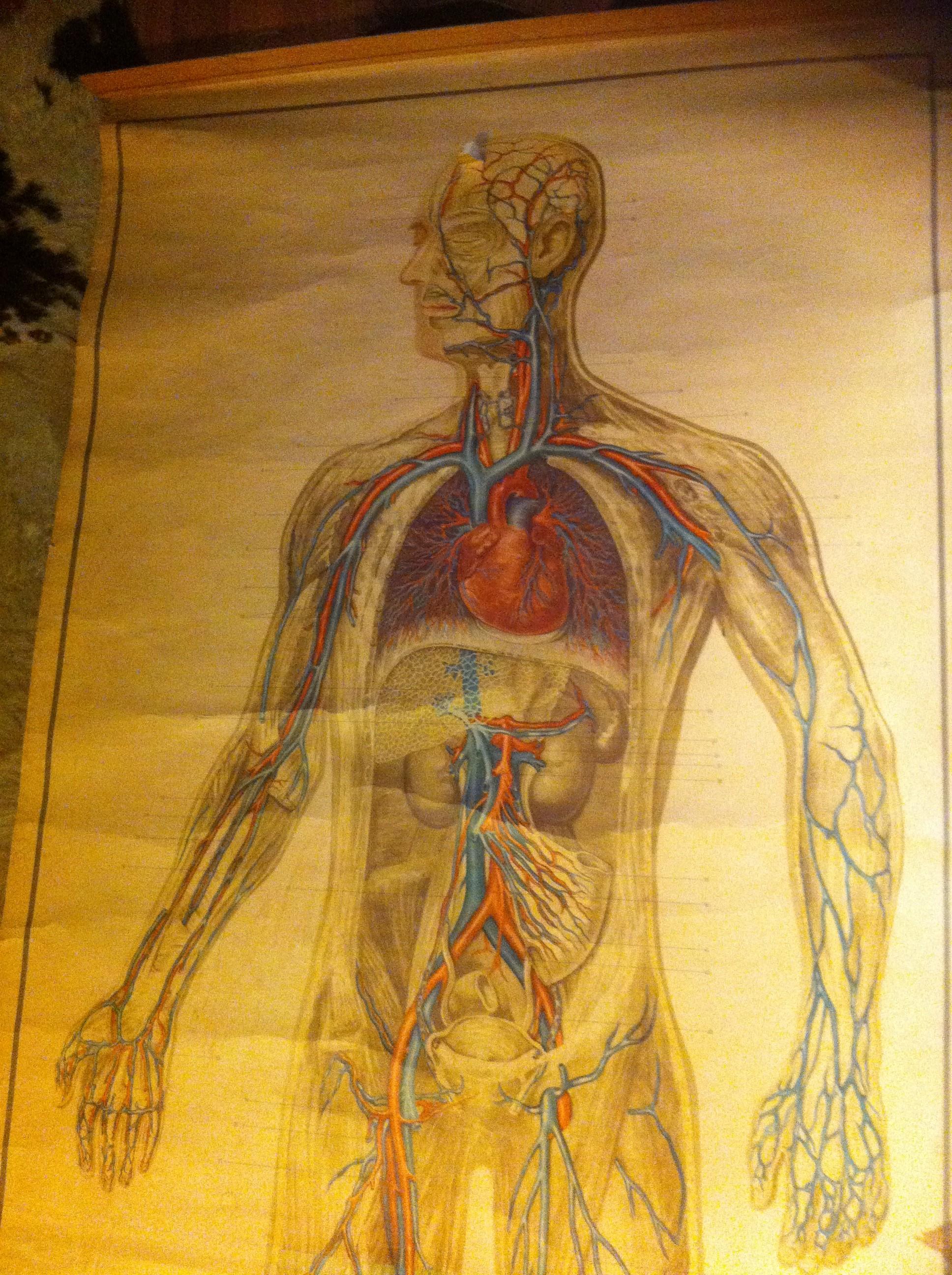 Lujo Cartel De La Anatomía De La Vendimia Modelo - Imágenes de ...