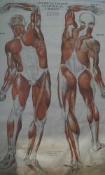 LAMINA 1910 CUERPO HUMANO 180x100 cm -600 €