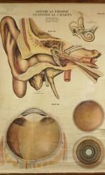 cartel 2 escuela entelado anatomia oido - 160x100cm- 600 €