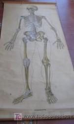 mapa anatomia 195 x 90 cm - 1951  - 360 €